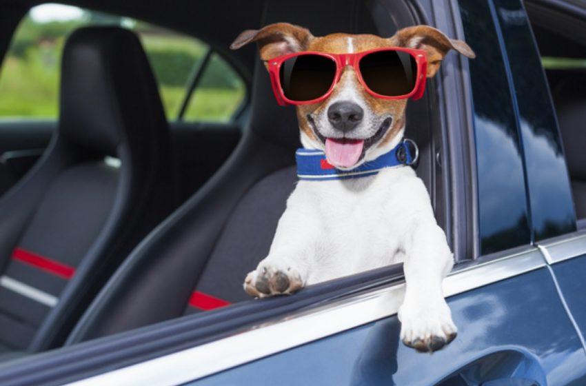 Viajar com animal de estimação requer treinamento prévio; confira dicas